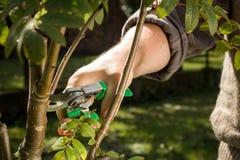 Coupe d'arbre avec sécateurs sur le jardin énorme Image libre de droits
