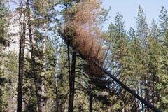 Coupe d'arbre de Yosemite en vallée de Yosemite Image libre de droits