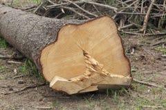 Coupe d'extrémité d'un arbre Photo libre de droits