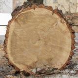 Coupe d'extrémité d'un grand arbre Images stock