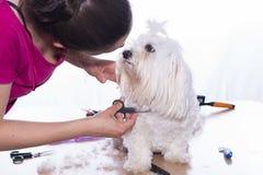 Coupe de cheveux d'animal familier Photos libres de droits