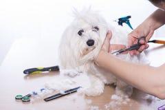 Coupe de cheveux d'animal familier Photo stock