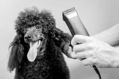 Coupe de cheveux du museau d'un caniche noir photographie stock