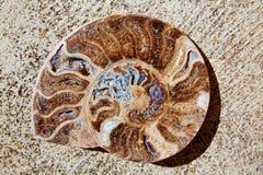 Coupe fossile d'escargot d'ammonites trouvée à Teruel Image libre de droits