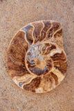 Coupe fossile d'escargot d'ammonites trouvée à Teruel Photo stock