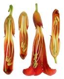Coupe intérieure des fleurs et des bourgeons chinois de campsis de plante grimpante de trompette images libres de droits