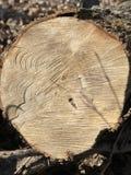 Coupe tombée d'arbre pour le bois du feu images libres de droits