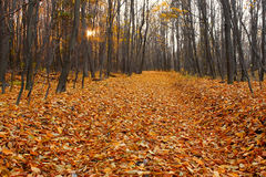 Couper-à travers en automne le bois de hornbeam Images stock