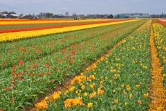 Couper les têtes des tulipes Image libre de droits