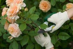 Couper roses Photos libres de droits
