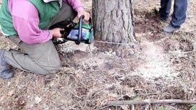 Coupes de bûcheron un arbre à la terre par une tronçonneuse banque de vidéos