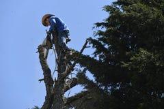 Coupeur d'arbre équilibrant un arbre mort avec une tronçonneuse Image stock