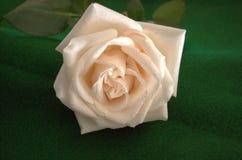 Coupez juste la rose crème couverte dans les gouttelettes d'eau minuscules sur une nappe verte Photos libres de droits