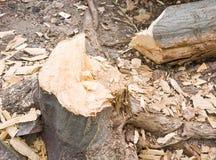Coupez l'arbre Photo libre de droits
