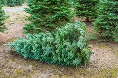 Coupez l'arbre de Noël dans une crèche Image stock