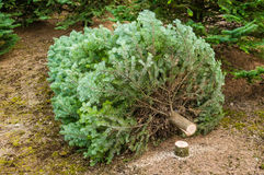 Coupez l'arbre de Noël dans une crèche Images libres de droits