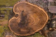 Coupez l'arbre, un grand tronçon d'un arbre abattu images stock