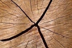 Coupez le logarithme naturel de chêne blanc Image stock