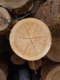 Coupez le pin Notation numérotée Anneaux annuels sur le pin de coupe Les rondins ont vu photo stock