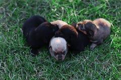 Coupez le sommeil quatre chiots de nouveaux-nés sur l'herbe verte image libre de droits