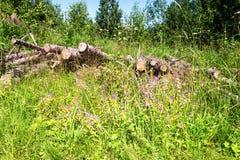 Coupez les rondins d'arbre empilés dans une forêt dans le jour d'été Image libre de droits