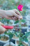 Coupez rose Photographie stock libre de droits