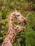 Couple& x28 жирафа; Camelopardalis& x29 Giraffa; Стоковое Изображение RF