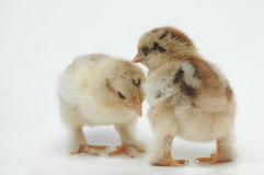 Couple. A couple of newly born chickens Stock Photo