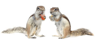Couple. Cute male and female squirrel couple having a dinner Stock Image