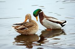 Couple. The couple of the mallard stock image