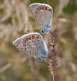 Couple. Detail (close-up) of the two butterflies royalty free stock photography