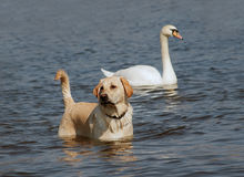 Couple. Shot of the bathing dog with swan stock images