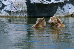 Couple. Of brown bears (Ursus arctos), large bear distributed in northern Eurasia and North America stock photo