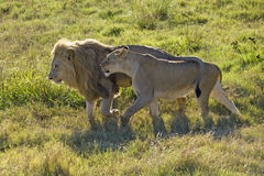 Couple. Rooming couple of a male and female lion Royalty Free Stock Images