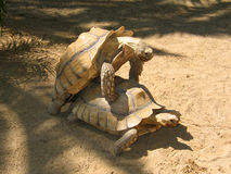 Couple. Tortoises at the zoo stock photography