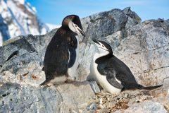 Couple of Adelie penguins in Antarctica. Couple of Adelie penguins nesting eggs with flocks in Antarctica, 2018 stock image