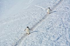Couple of Adelie penguins in Antarctica. Couple of Adelie penguins walking in Antarctica, 2018 stock photo