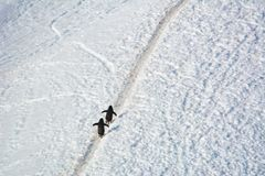 Couple of Adelie penguins walking up to the hill in Antarctica. 2018 royalty free stock photo