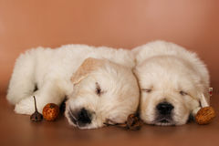 Couple of adorable sleeping puppies Stock Image