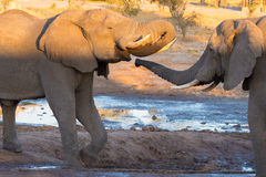 Couple of adult African Elephant facing each others at waterhole. Wildlife Safari in the Chobe National Park, travel destination i Royalty Free Stock Image