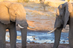 Couple of adult African Elephant facing each others at waterhole. Wildlife Safari in the Chobe National Park, travel destination i Stock Photography