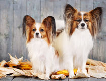Couple adult dogs Stock Photos