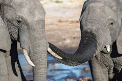 Couple of African Elephant at waterhole. Wildlife Safari in the Chobe National Park, travel destination in Botswana, Africa. Couple of African Elephant at Stock Image