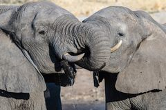 Couple of African Elephant at waterhole. Wildlife Safari in the Chobe National Park, travel destination in Botswana, Africa. Couple of African Elephant at Royalty Free Stock Photo