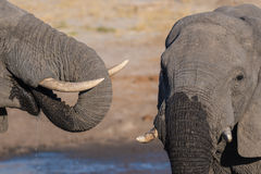 Couple of African Elephant, young and adult, at waterhole. Wildlife Safari in the Chobe National Park, travel destination in Botsw Stock Image