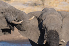Couple of African Elephant, young and adult, at waterhole. Wildlife Safari in the Chobe National Park, travel destination in Botsw Royalty Free Stock Image
