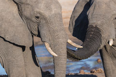 Couple of African Elephant, young and adult, at waterhole. Wildlife Safari in the Chobe National Park, travel destination in Botsw Royalty Free Stock Photography
