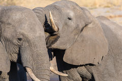 Couple of African Elephant, young and adult, at waterhole. Wildlife Safari in the Chobe National Park, travel destination in Botsw Royalty Free Stock Photo