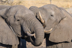 Couple of African Elephants, young and adult, at waterhole. Wildlife Safari in the Chobe National Park, travel destination in Bots Royalty Free Stock Photo