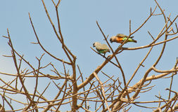 A couple of African orange-bellied parrots Royalty Free Stock Images